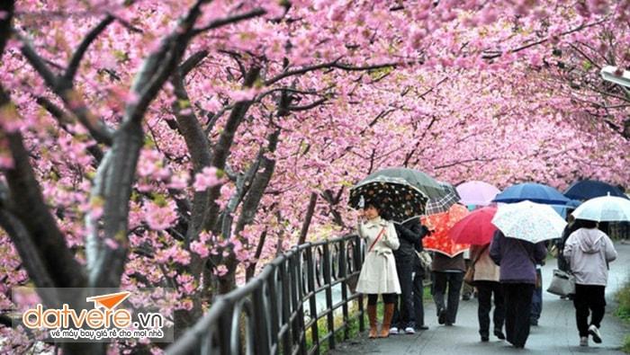 Ghé thăm Nhật Bản mùa hoa anh đào nở