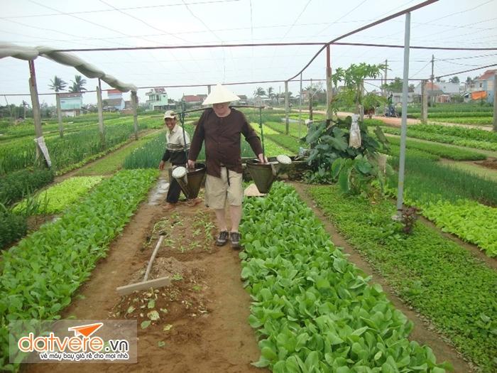 Làng trồng rau Trà quế