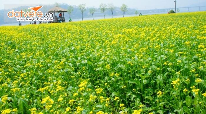 Những cánh đồng hoa cải vàng rực