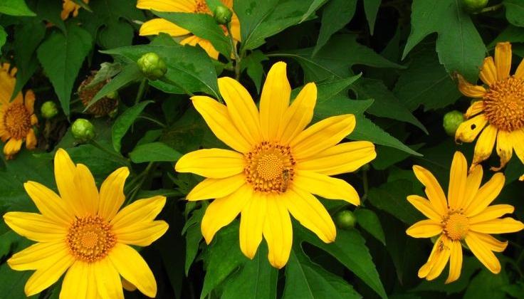 Hoa dã quỳ nở báo hiệu mùa mưa kết thúc