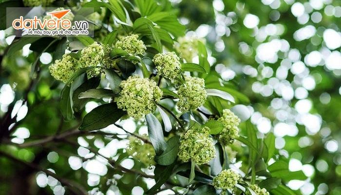 Hoa sữa loài hoa đặc trưng của Hà nội.