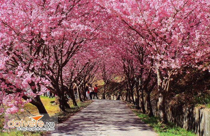 Núi Dương Minh mùa hoa anh đào nở