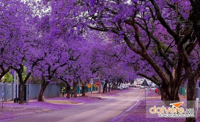 Hàng cây hoa phượng tím