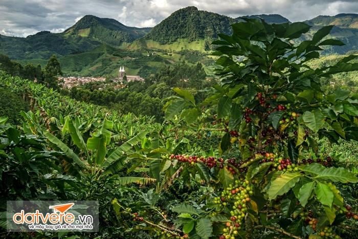 Cánh đồng cafe Colombia