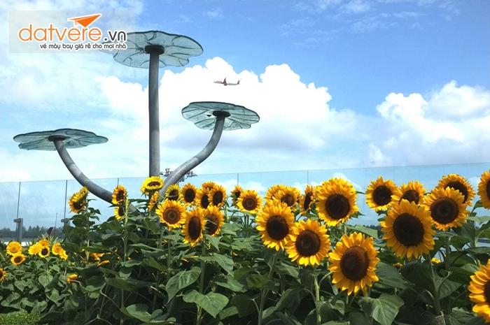 Vườn hoa hướng hương ở sân bay Changia