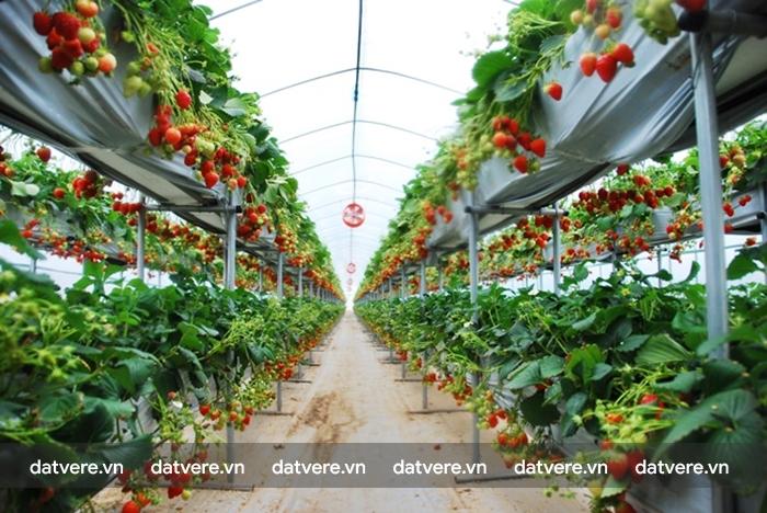 Vườn dâu tây ở Hàn Quốc