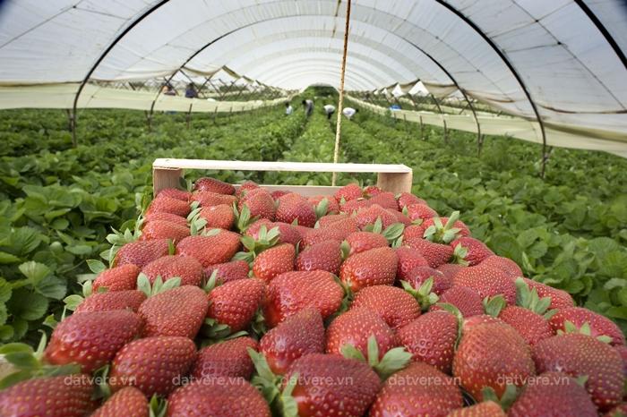 Những quả dâu tây được thu hoạch ở thung lũng Arava